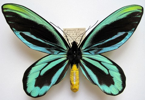 ornithoptera_alexandrae_m1