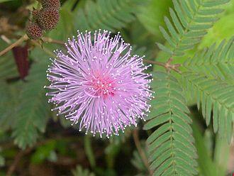 Mimosa_pudica_-_Kerala_1