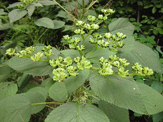 330px-Gardenology.org-IMG_1442_bbg09