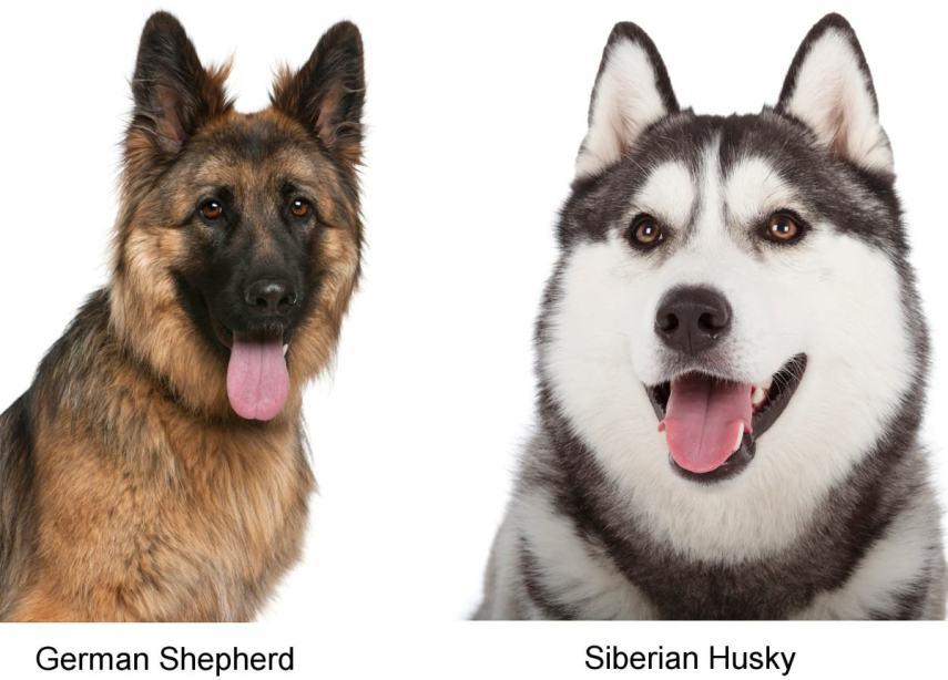 1200-24151968-german-shepherd-siberian-husky